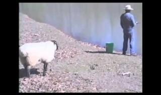 羊VS釣り人 まるでドリフのコントみたいな笑劇の結末ww